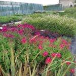 Plantagenet Plantes